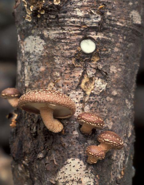 fungo-shiitake1_468x600